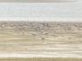 1648-L'appel des grues cendrées au Lac du Der. Chantecoq, en Champagne.